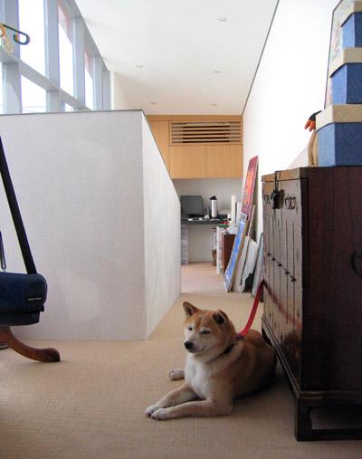 シャキ / 柴犬