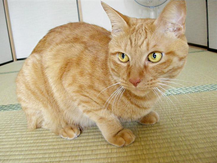 ちゃー坊 / 雑種猫
